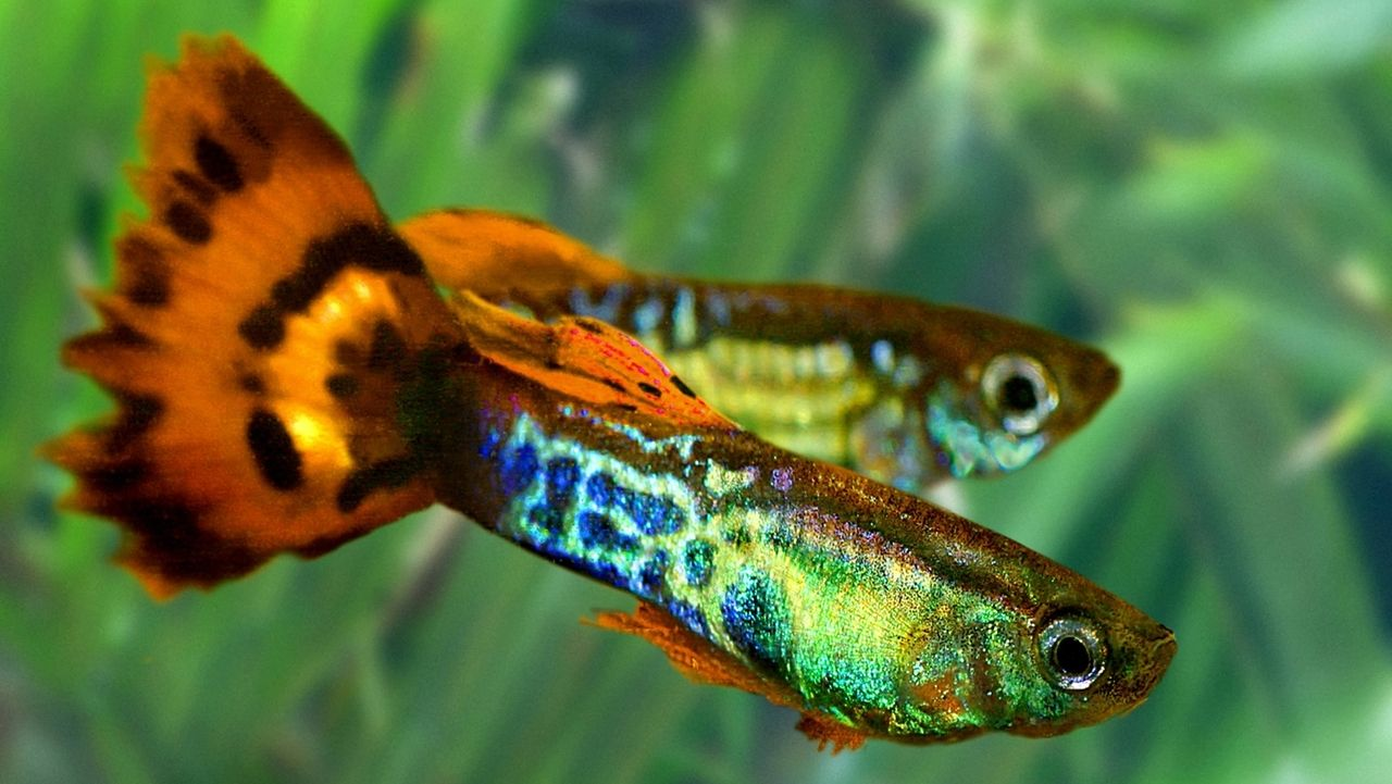 Guppys - Poecilia reticulata - sind Süßwasserzierfische, ursprünglich verbreitet in der Karibik und im nördlichen Südamerika.