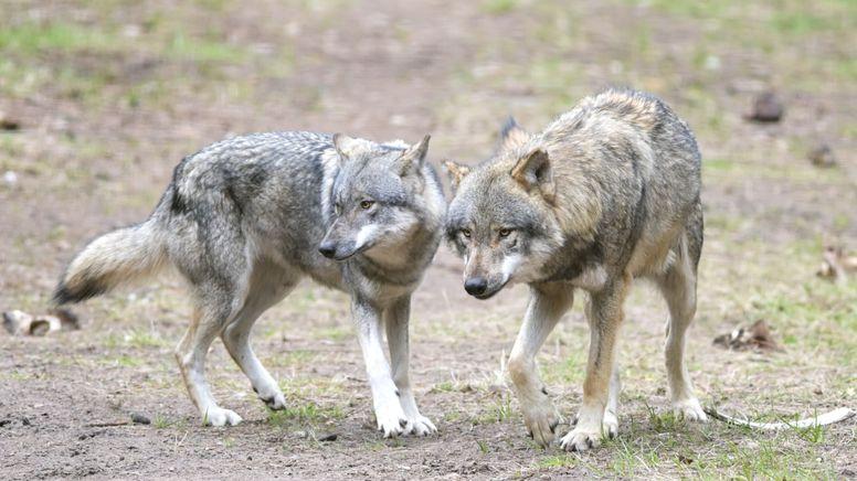Zwei Wölfe  | Bild:pa/dpa-Soeren Stache