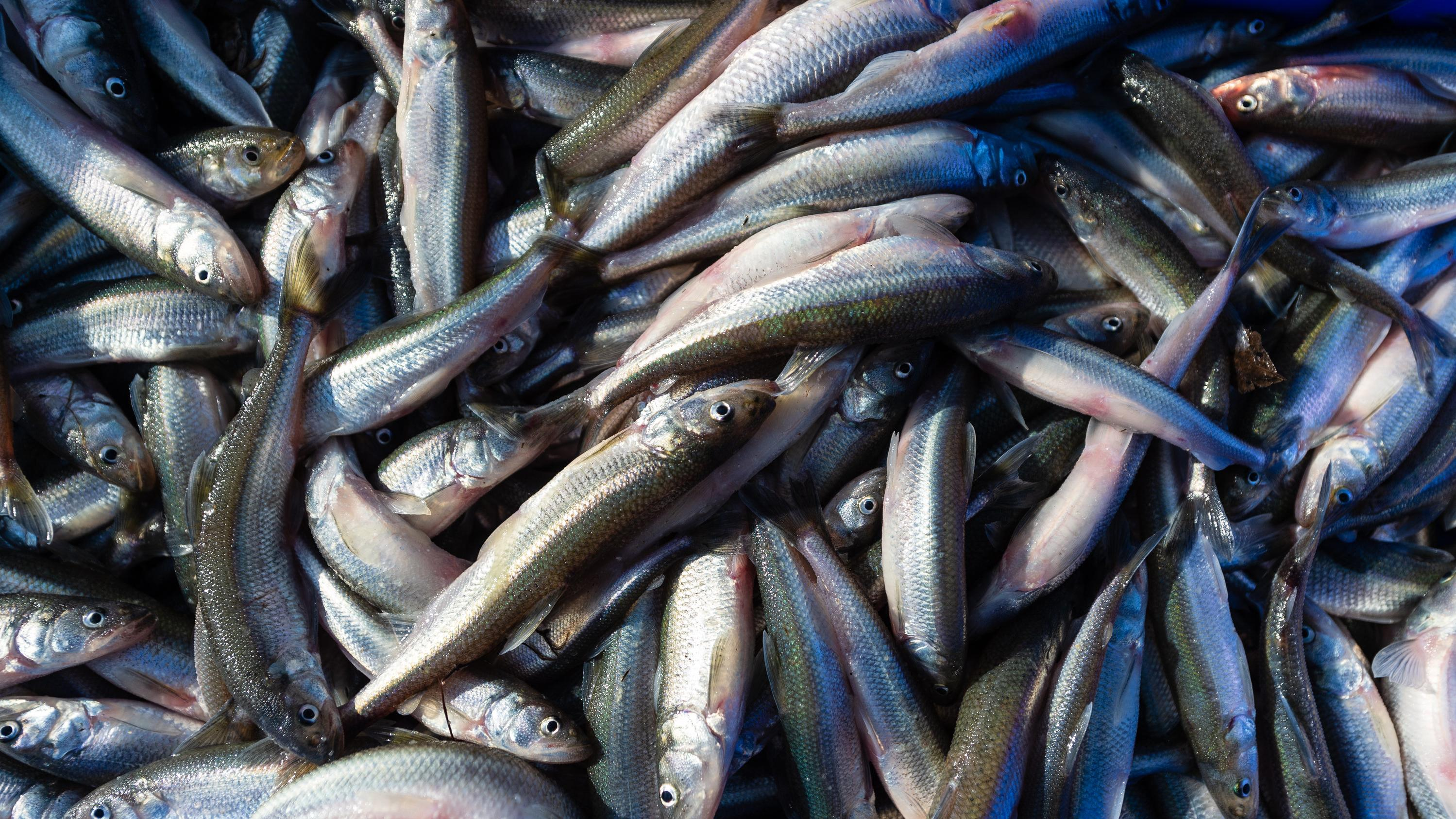 Fische (Symbolbild)