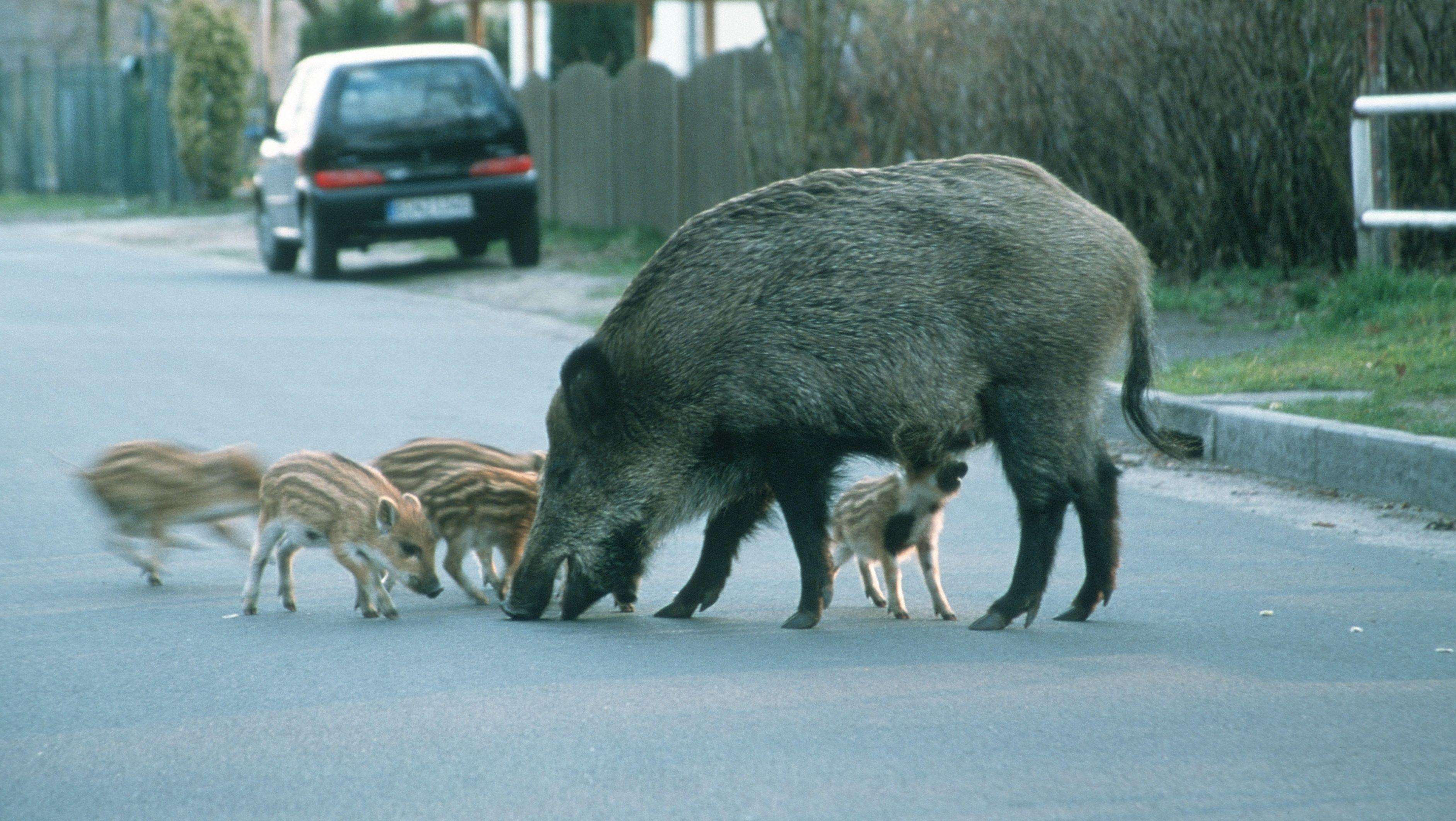 Wildschweine auf der Straße