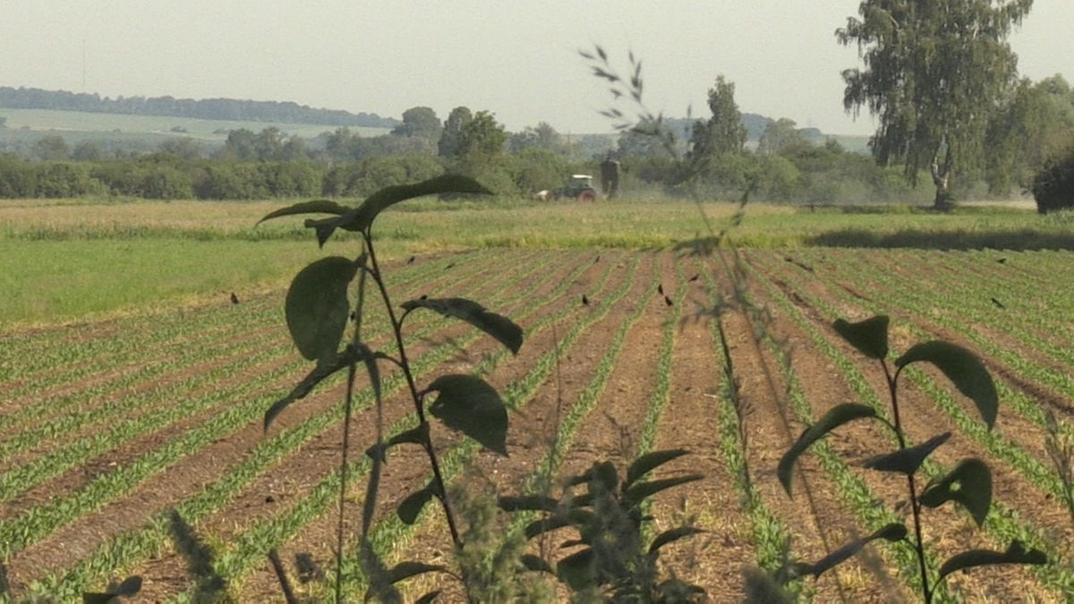 In Nordschwaben fressen die Saatkrähen hektarweise die Saat von den Feldern. Ihr Verhalten soll erforscht werden um Schutzmaßnahmen zu entwickeln