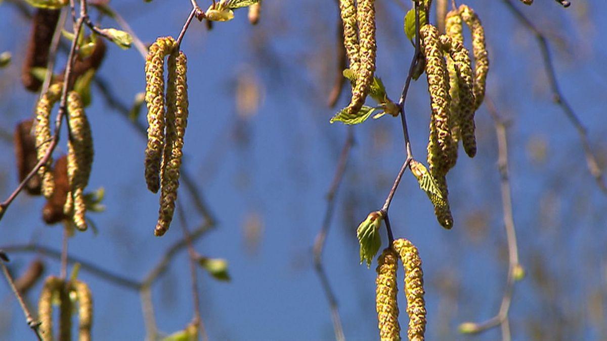 Unter starkem Pollenflug leiden nicht nur Allergiker. Offensichtlich führt dieser auch zu mehr Corona-Infektionen - einer neuen Studie zufolge.