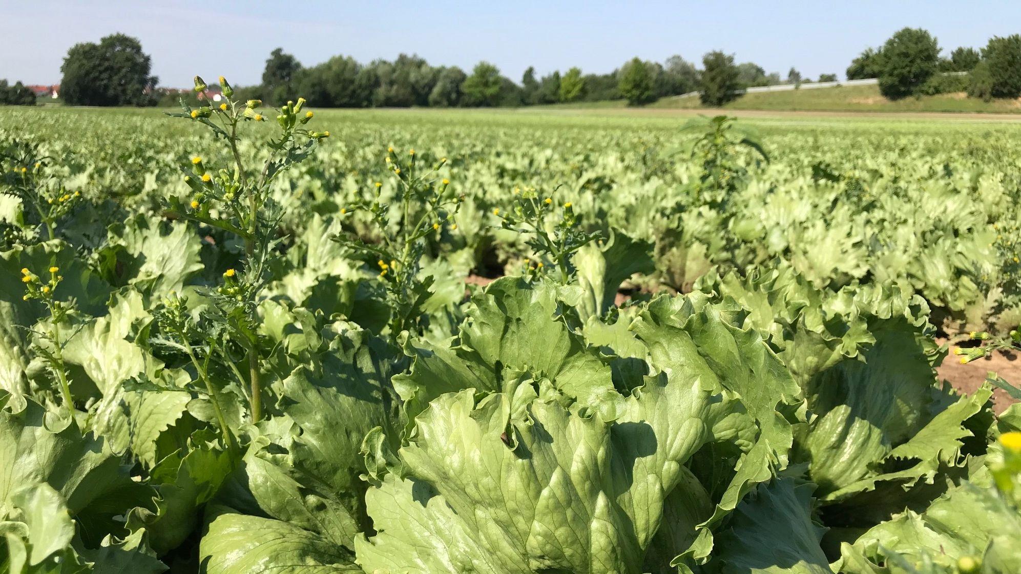 Salatfeld in Schwaben