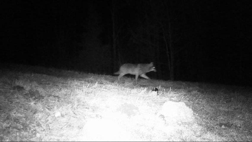 Wolf in der Fotofalle in Siegsdorf