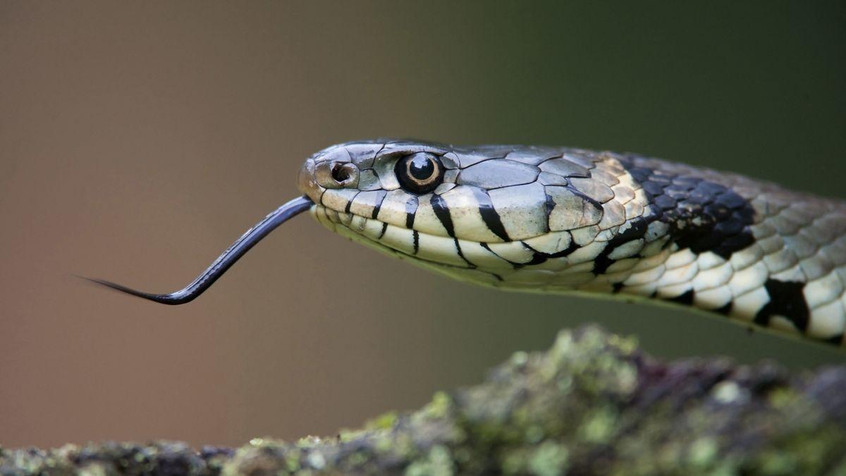 """Schlange (Symboldbild): Aus der """"Messie""""-Wohnung wurden auch drei ungiftige Schlangen gerettet"""