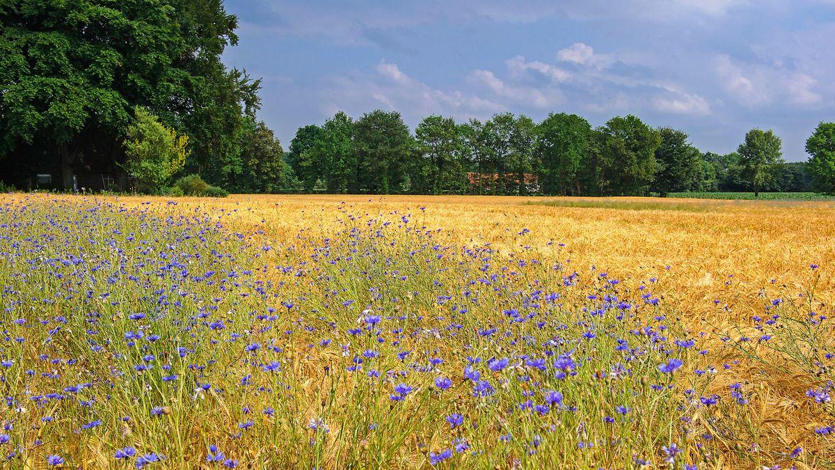 Symbolbild: Kornblumen auf einem Getreidefeld