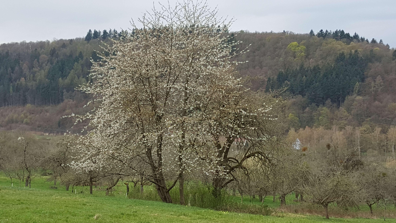 Streuobstwiese bei Kreuzwertheim