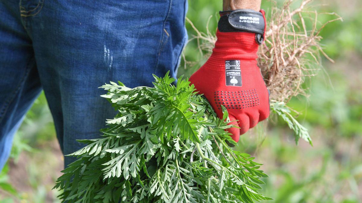Behandschuhte Hand hält ausgerissene Ambrosiapflanzen in der Hand