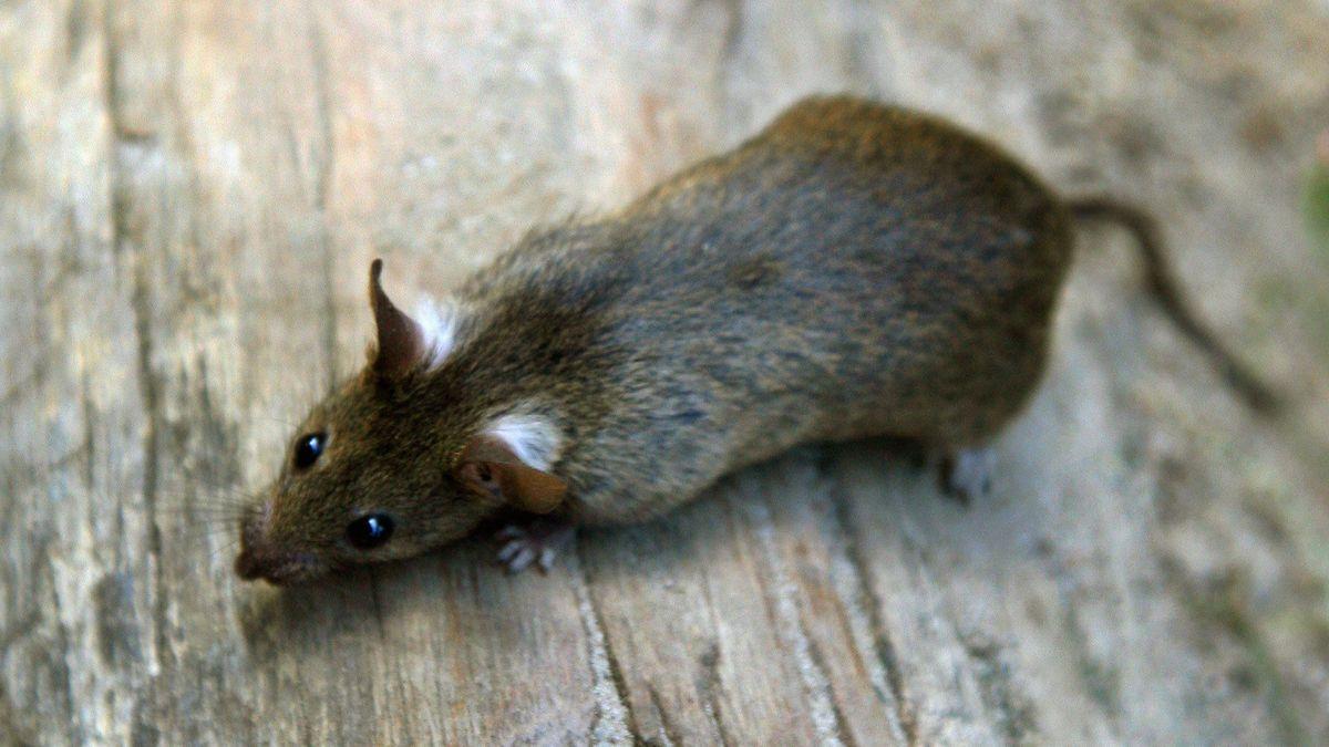 Eine kleine Ratte steht auf einem Holzuntergrund