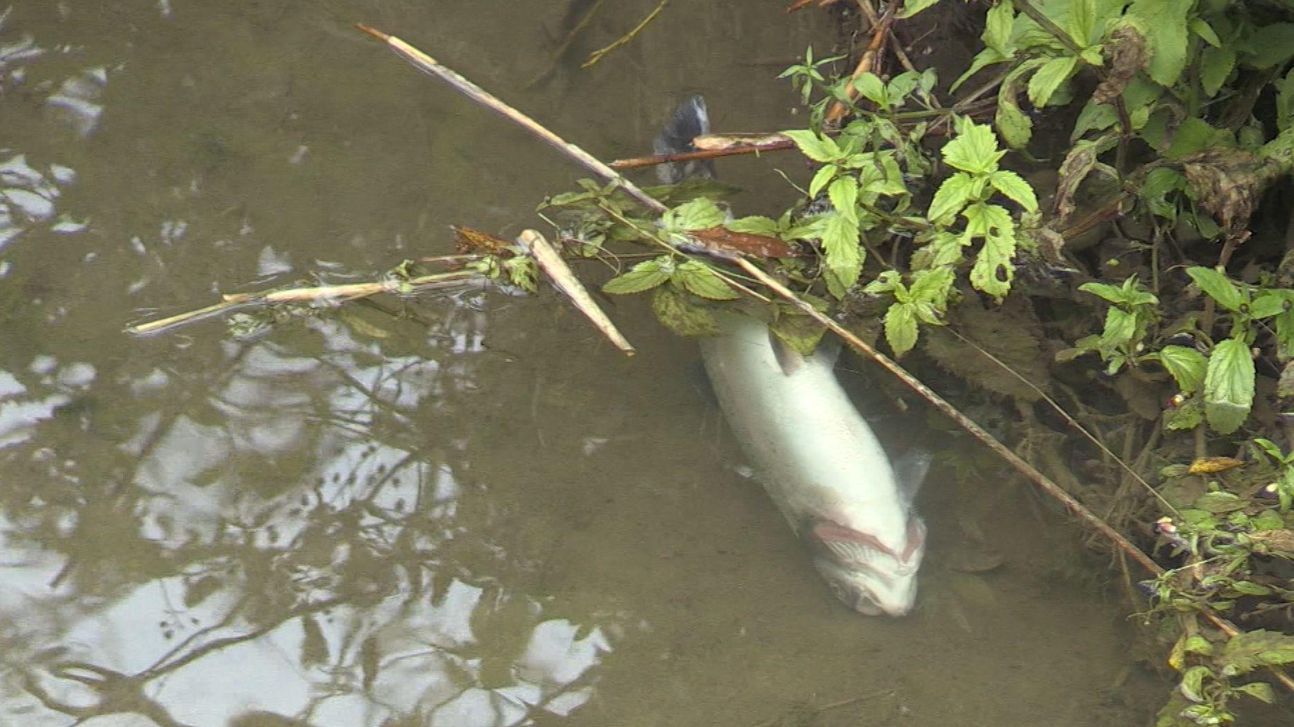 Fischsterben in der Lauterach
