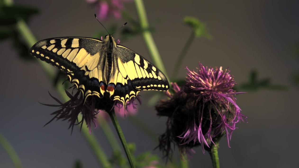 """Der Schmetterling """"Schwalbenschwanz"""" sitzt auf einer Blume"""