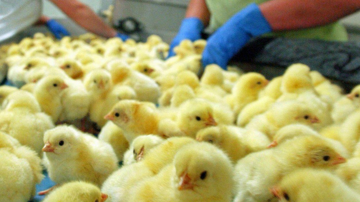 Eier ohne Kükentöten bis 2022: Ist das Ziel zu ambitioniert?