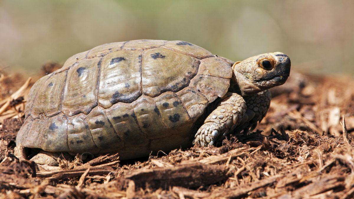 Eine griechischen Landschildkröte gilt in Memmelsdorf als verschwunden. (Symbolbild)