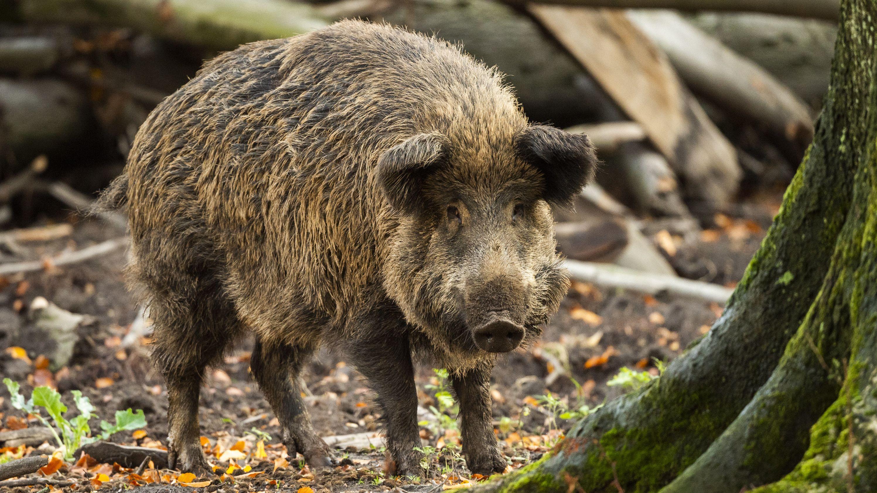 In Bayern wurden 2019 besonders viele Wildschweine geschossen. Vor allem in Franken fühlen sich die Tiere wohl.