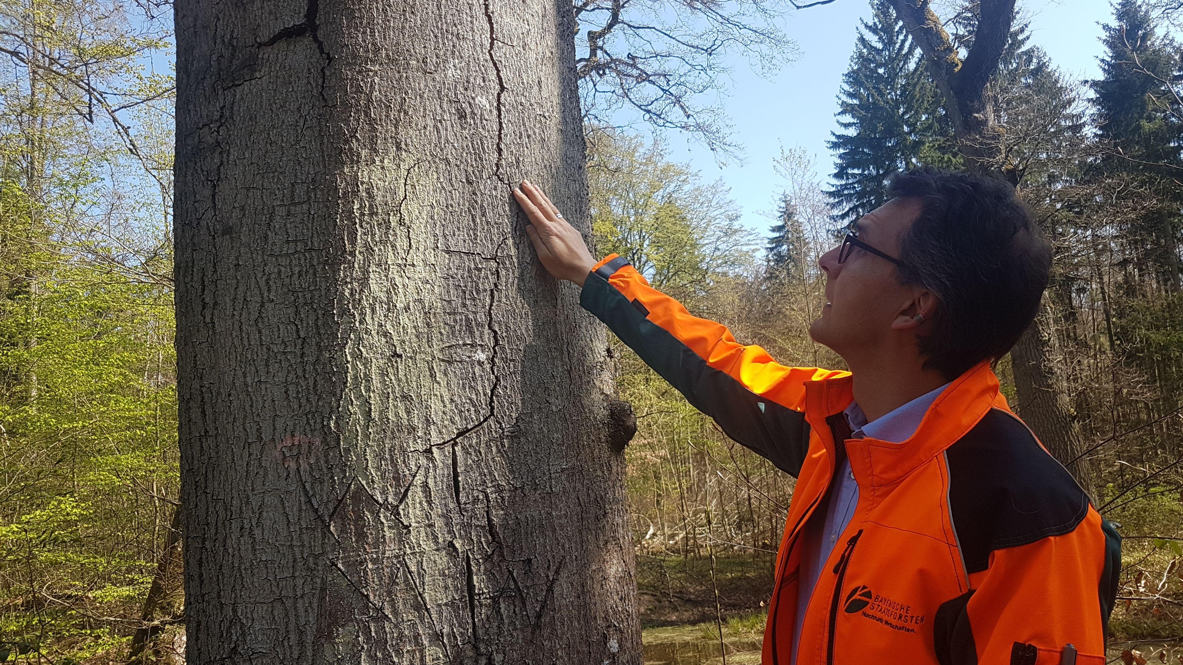 Förster Christian Riegert zeigt Risse an einem Baum.