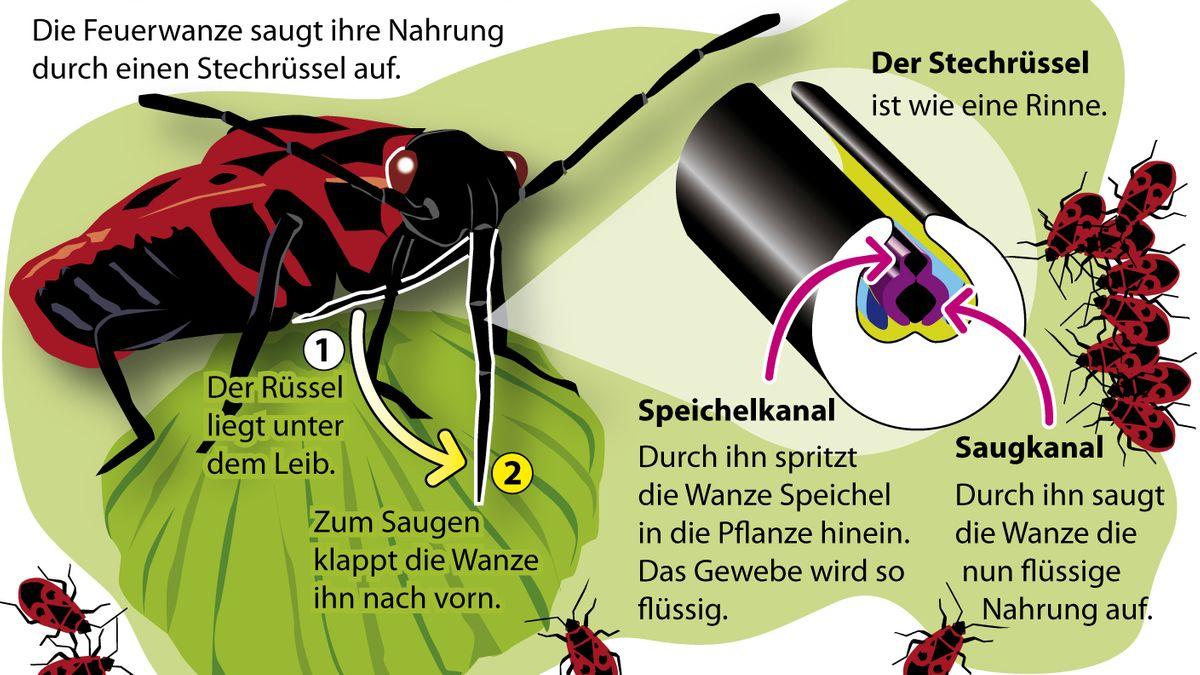 Grafik, die erklärt, wie eine Feuerwanze mithilfe ihres Rüssels Nahrung aufnimmt.