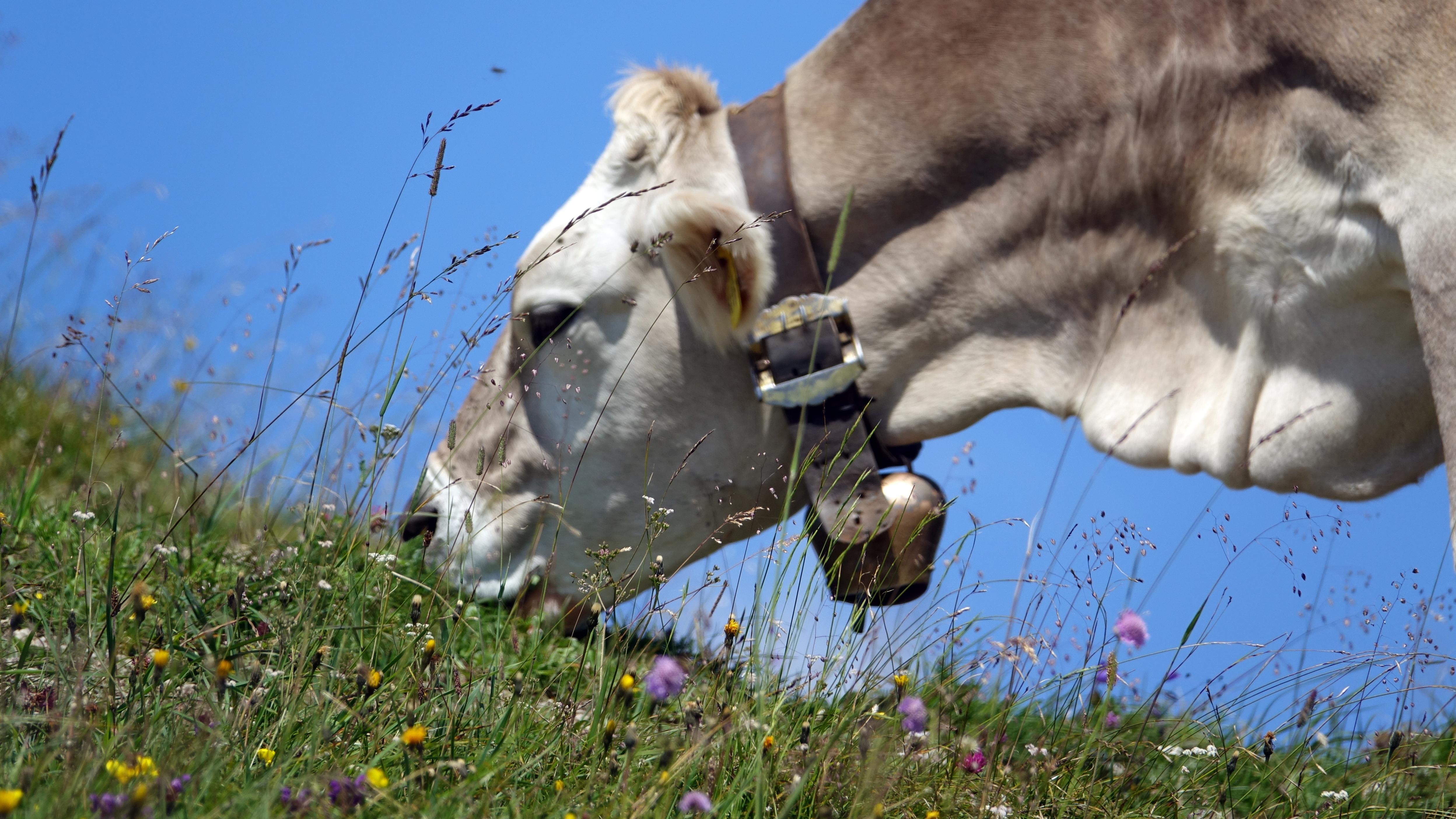Eine Kuh mit Glocke um den Hals grast auf den Wiese (Symbolfoto)