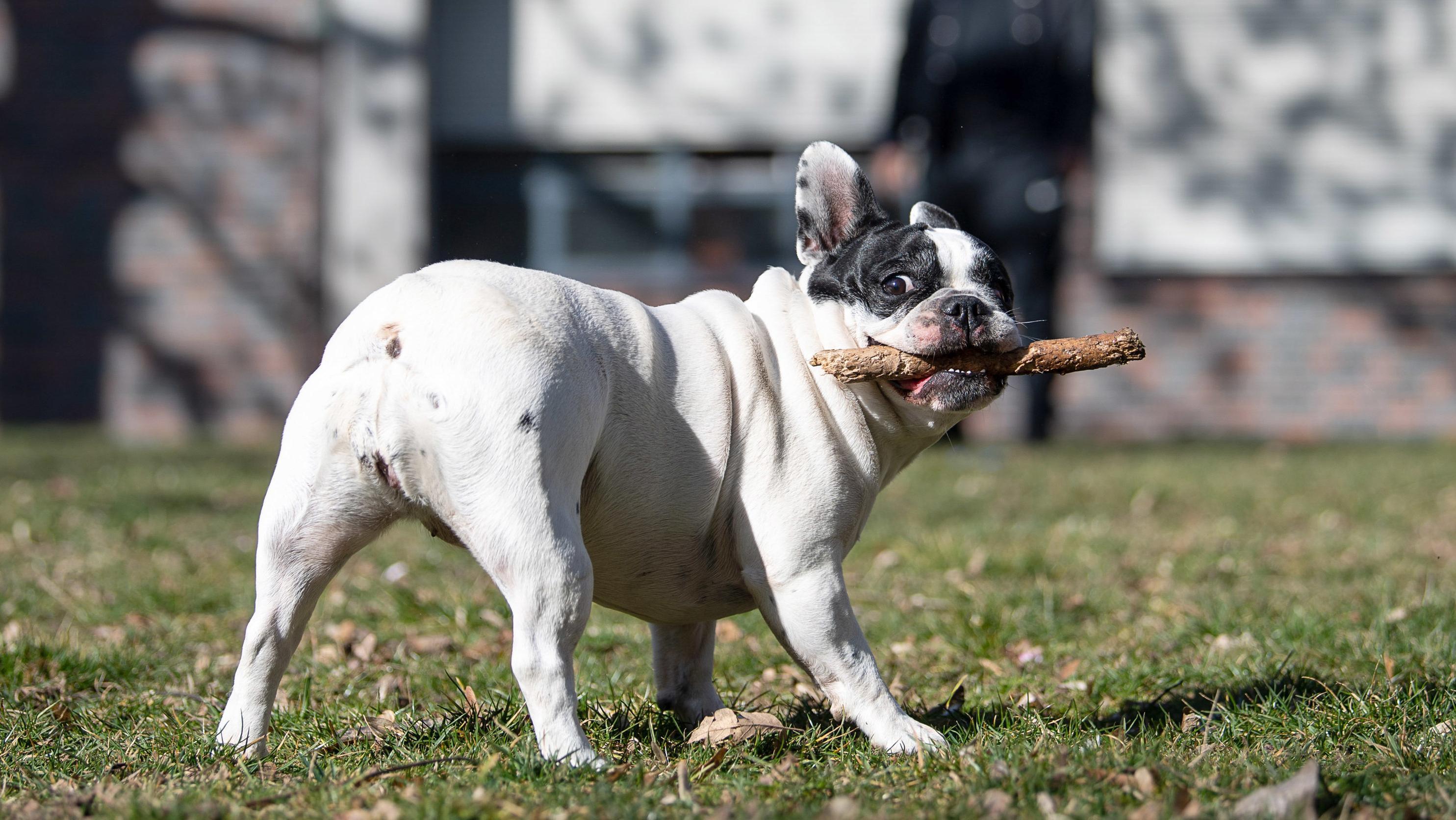 Eine französische Bulldogge hält einen Stock in der Schnauze (Symbolbild).