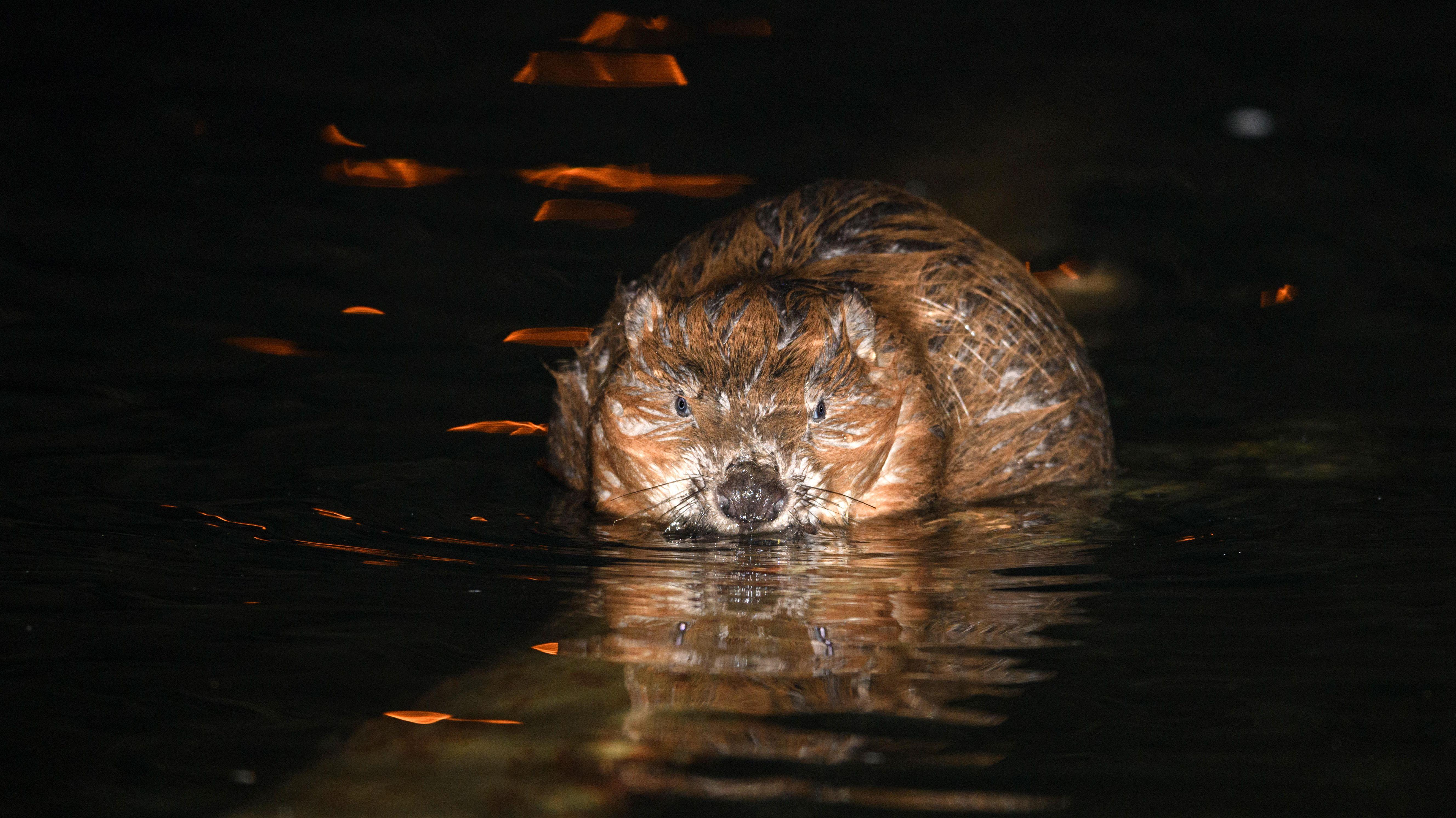 Ein Biber sitzt im Wasser und frisst. (Symbolbild)