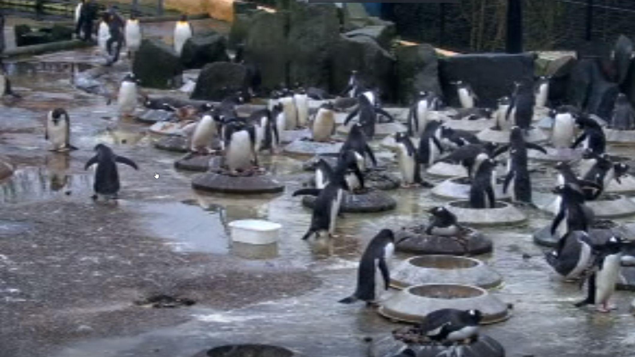 Pinguine im Zoo von Edinburgh.