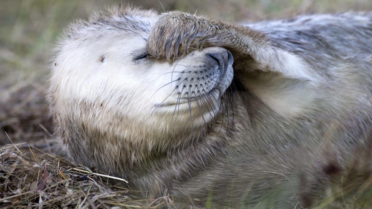 Robbe hält sich die Flosse vor Augen