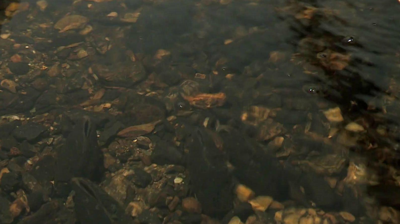 Die vom Aussterben bedrohten Flussperlmuscheln in einem Gewässer.