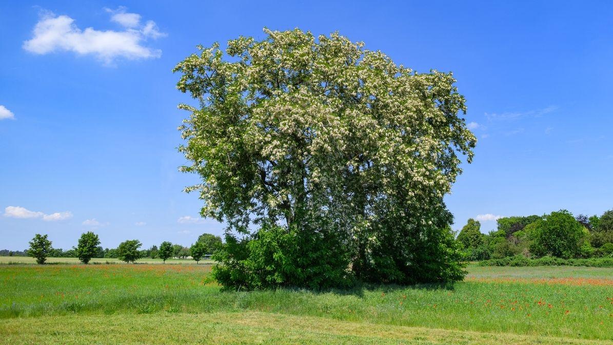 Gewöhnlichen Robinie (Robinia pseudoacacia). Die Robinie wurde zum Baum des Jahres 2020 gekürt