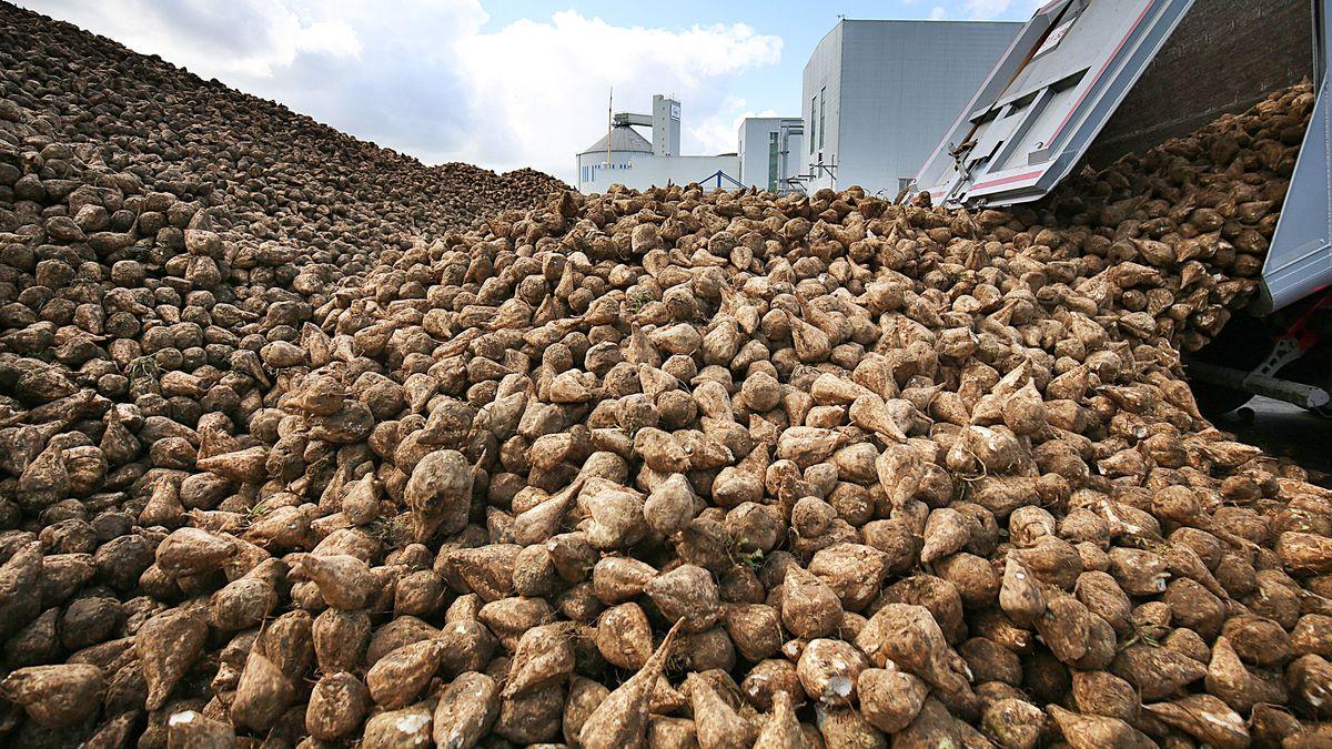 Mit den Lademäusen werden die Zuckerrüben über ein Förderband auf einen Lkw transportiert. Diese bringen sie nach Plattling ins Südzucker Werk.