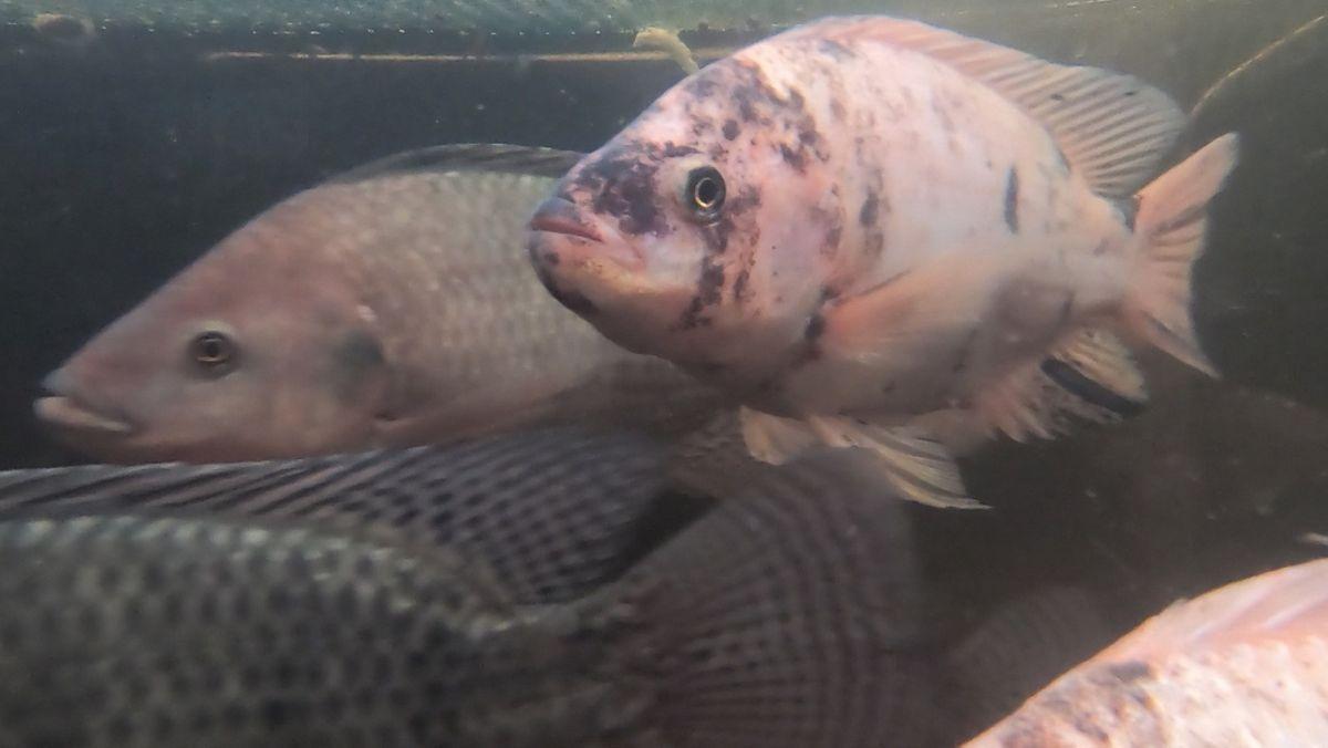 Diese Fische liefern den Dünger für die Pflanzen. Die Pflanzen ziehen Nährstoffe aus dem Wasser, so dass das Wasser für die Fische frisch bleibt.