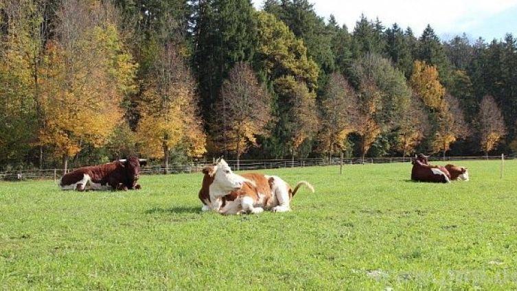 Sissi, Sofi, Luki und Schurlibua und liegen auf ihrer Weide nahe der Traunreuter Kläranlage.