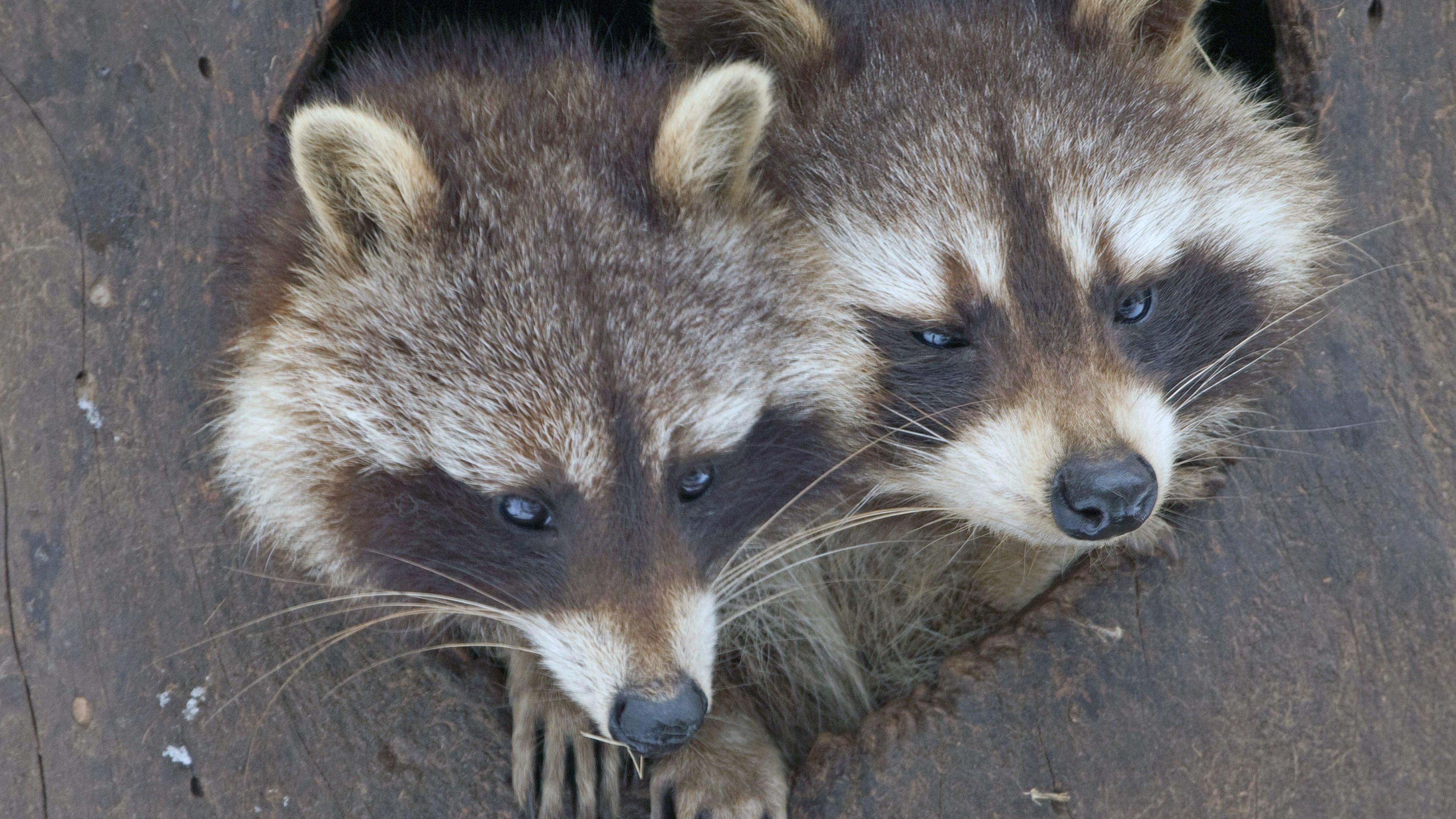 Zwei Waschbären blicken aus Baumhöhle