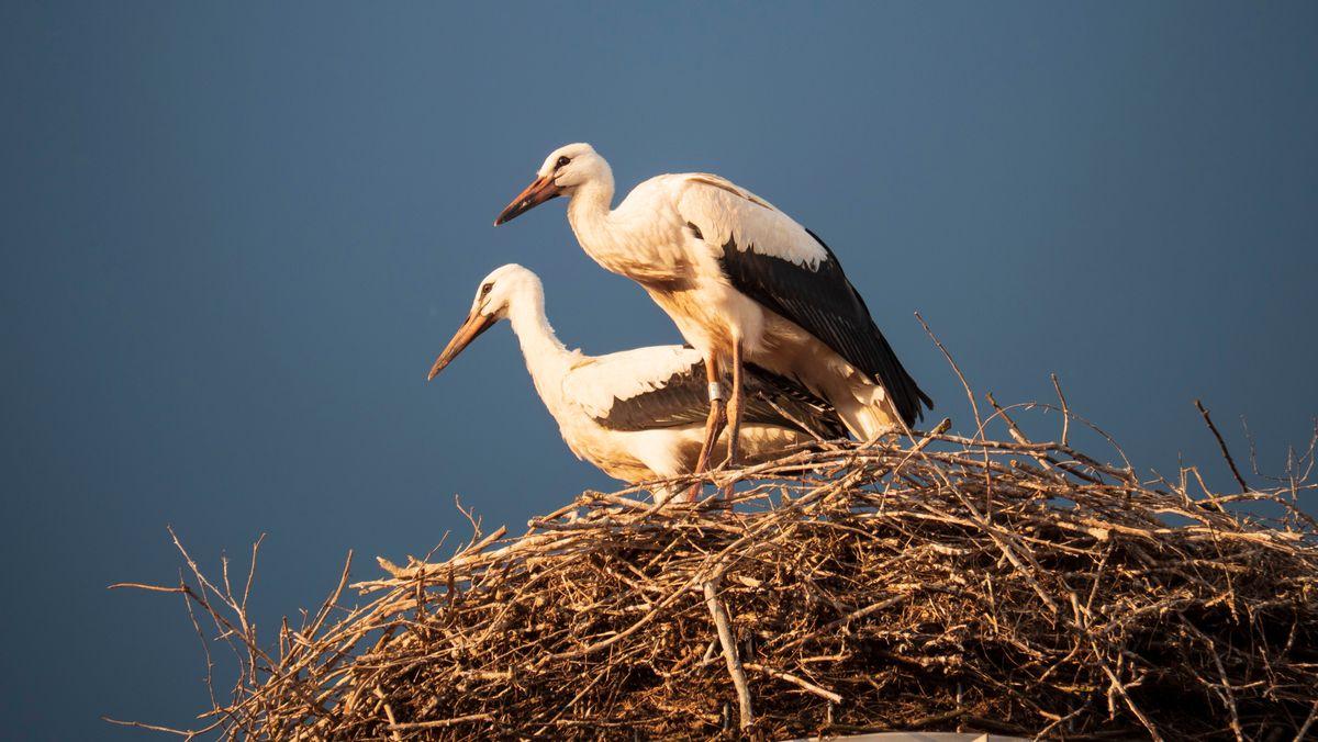 Störche im Nest (Symbolbild)
