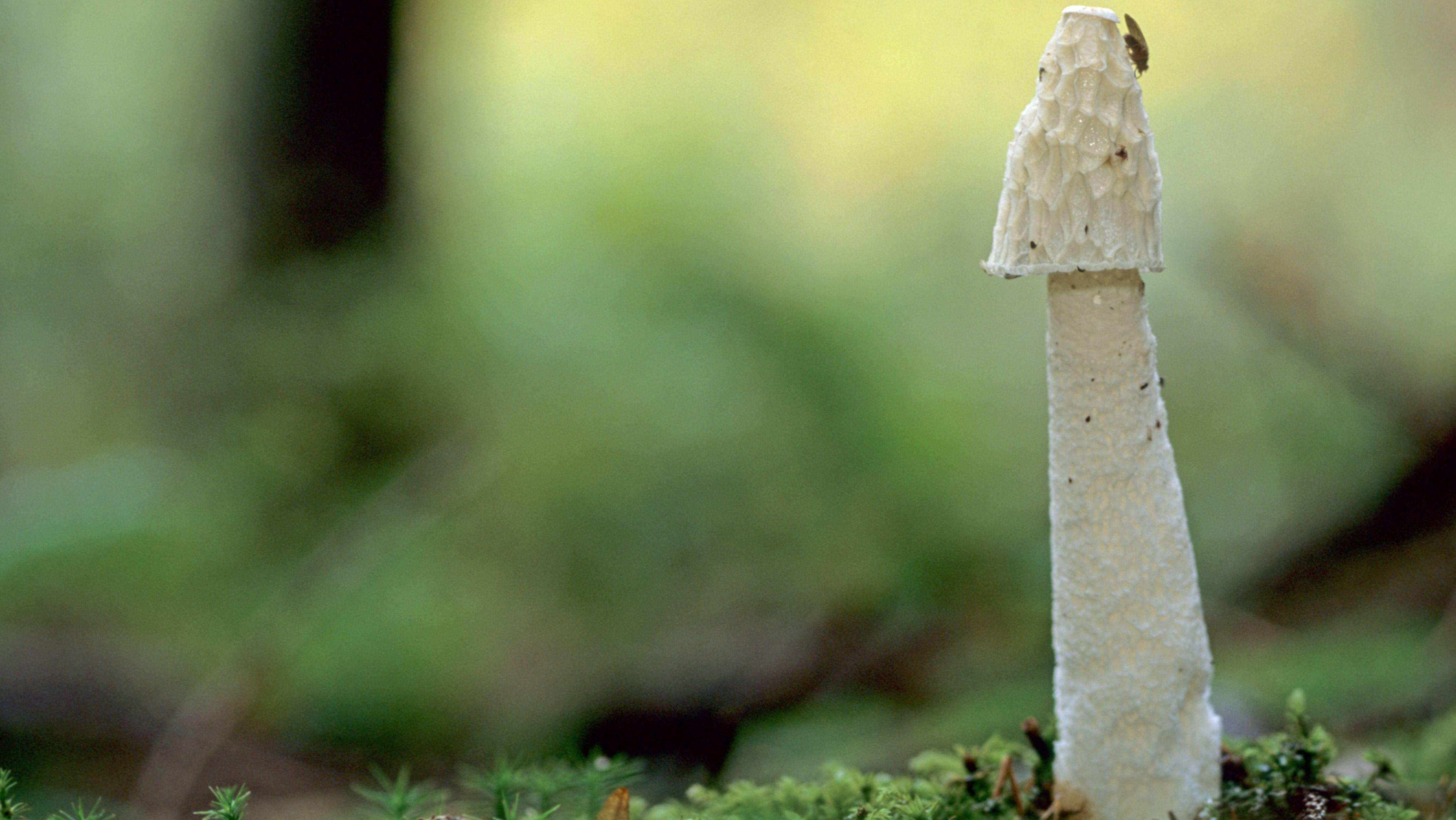 Stinkmorchel (Phallus impudicus), mit einer Fliege auf der Spitze des Hutes