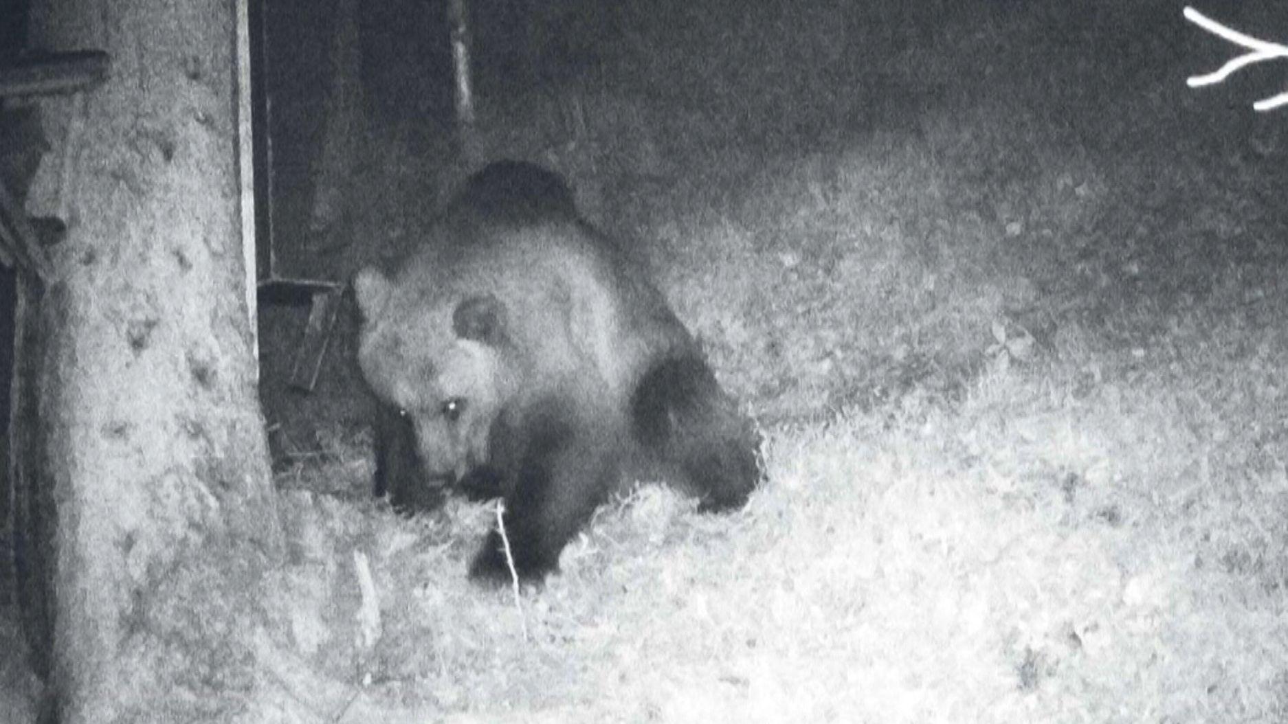 Bei Reutte gesichteter Bär in der Fotofalle