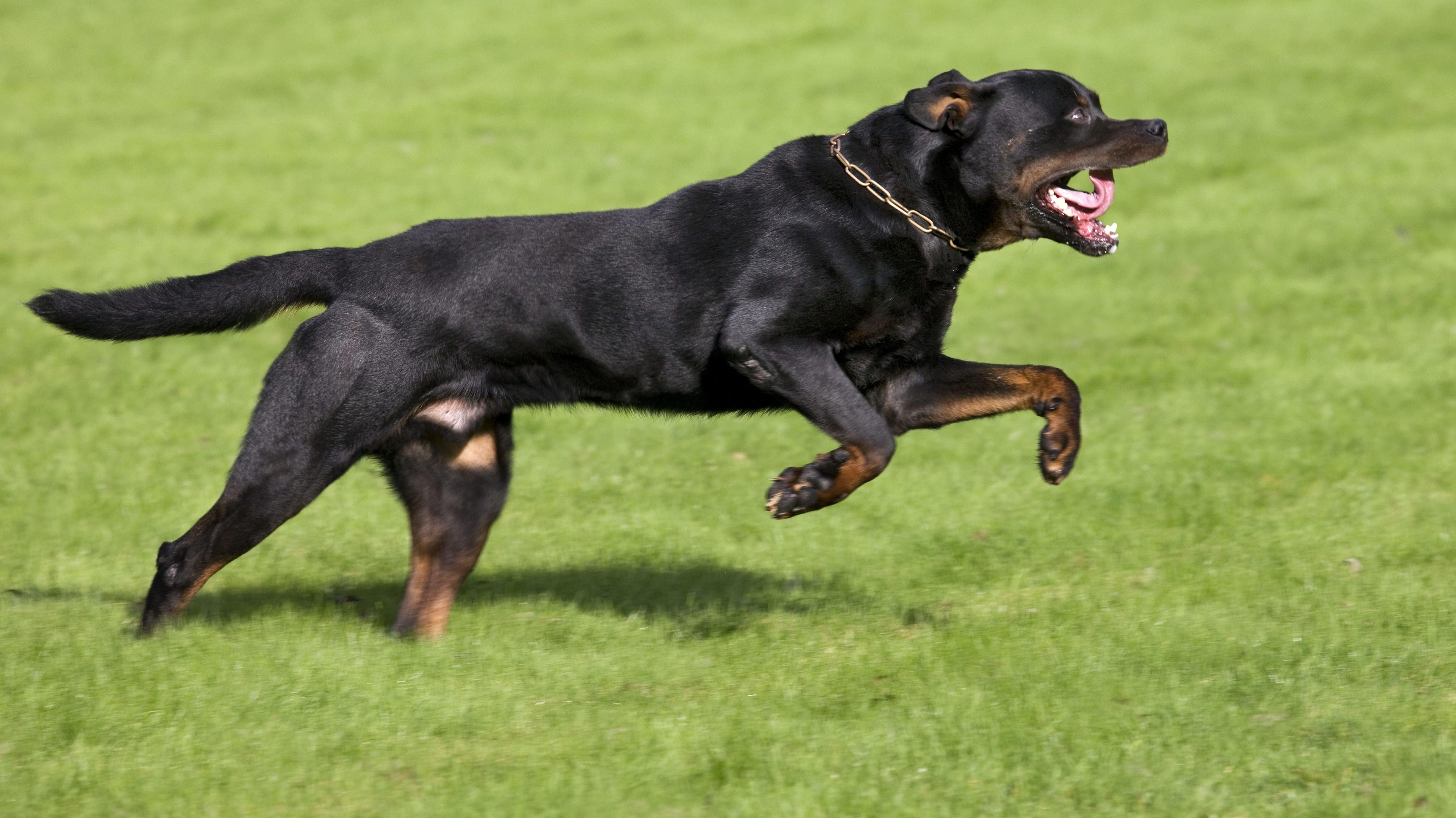 Symbolbild: Rottweiler-Hund rennt über eine Wiese