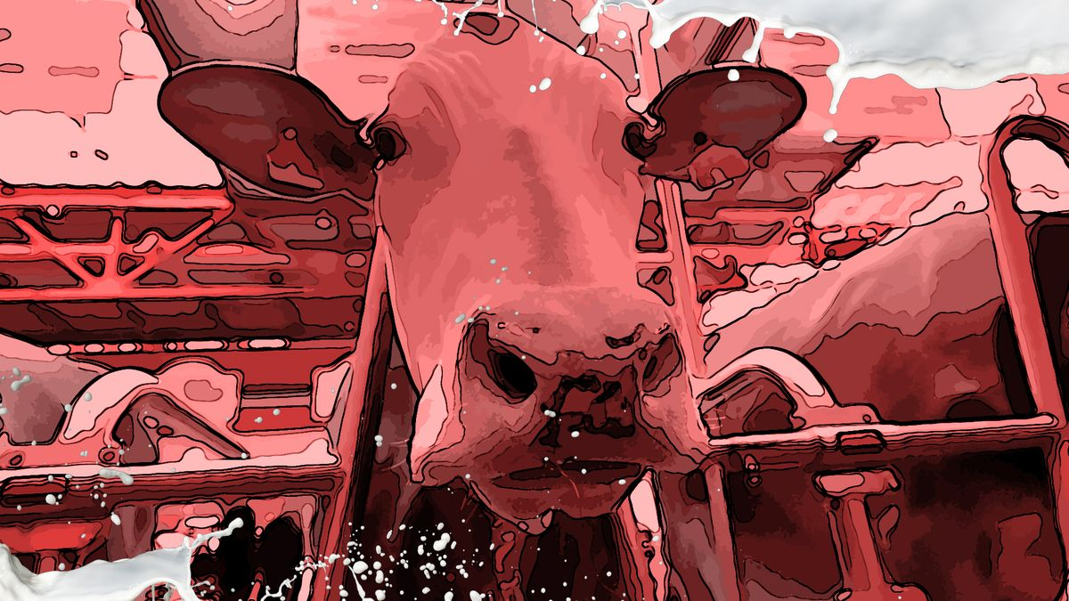Eine Kuh in einem Milchviehbetrieb