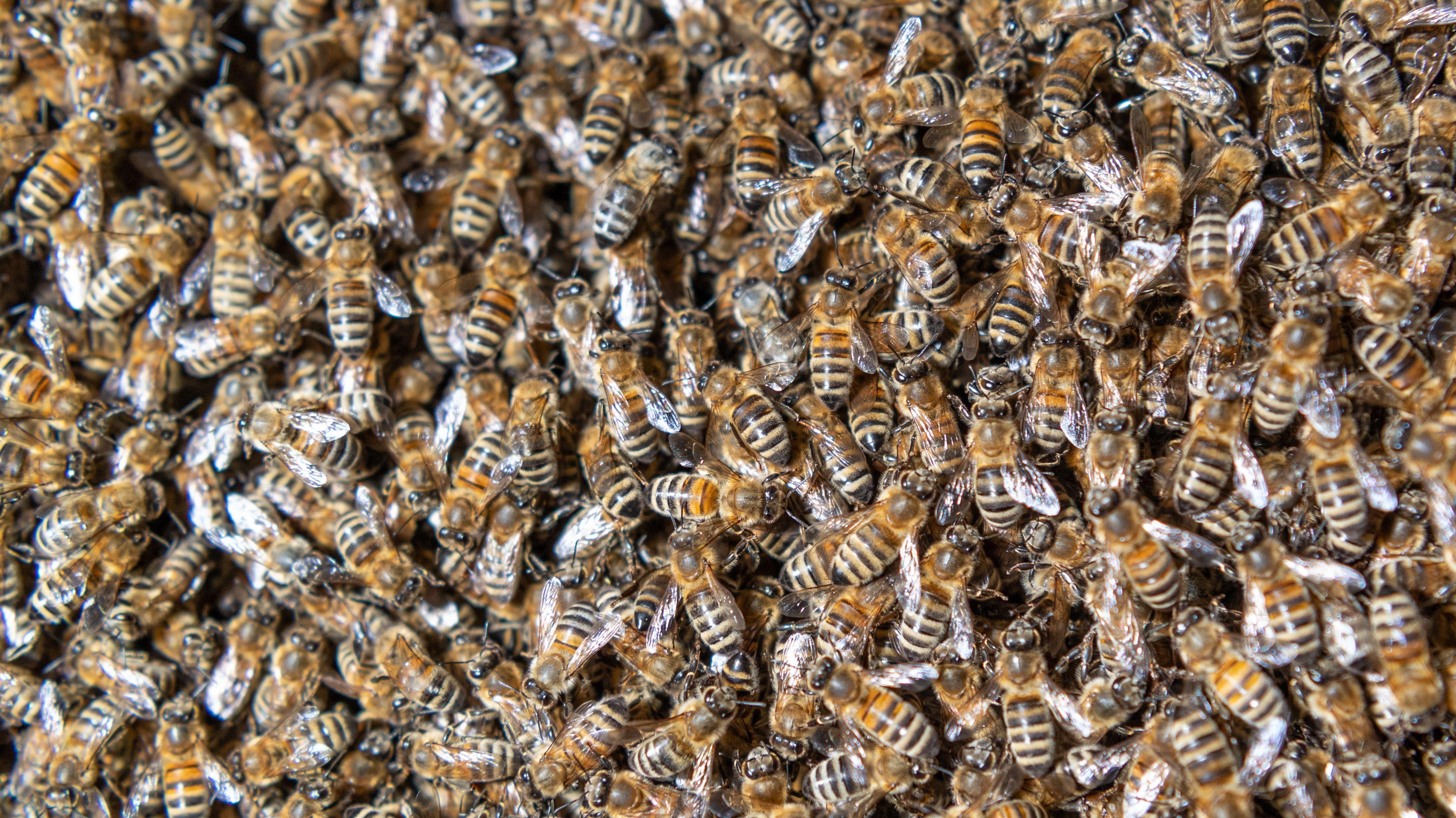 Bienenschwarm auf Flugzeugscheibe - Flieger in Indien verspätet