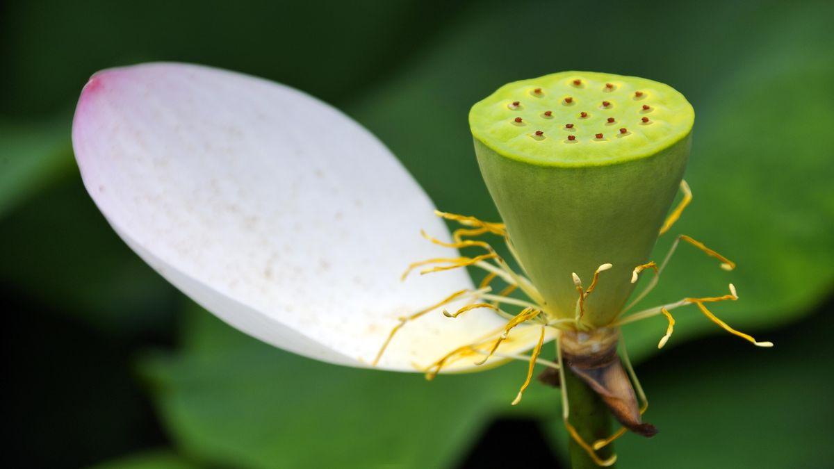 Samenkapsel der Lotusblüte (Nelumbo) mit noch einem Blatt, Botanischer Garten, Erlangen