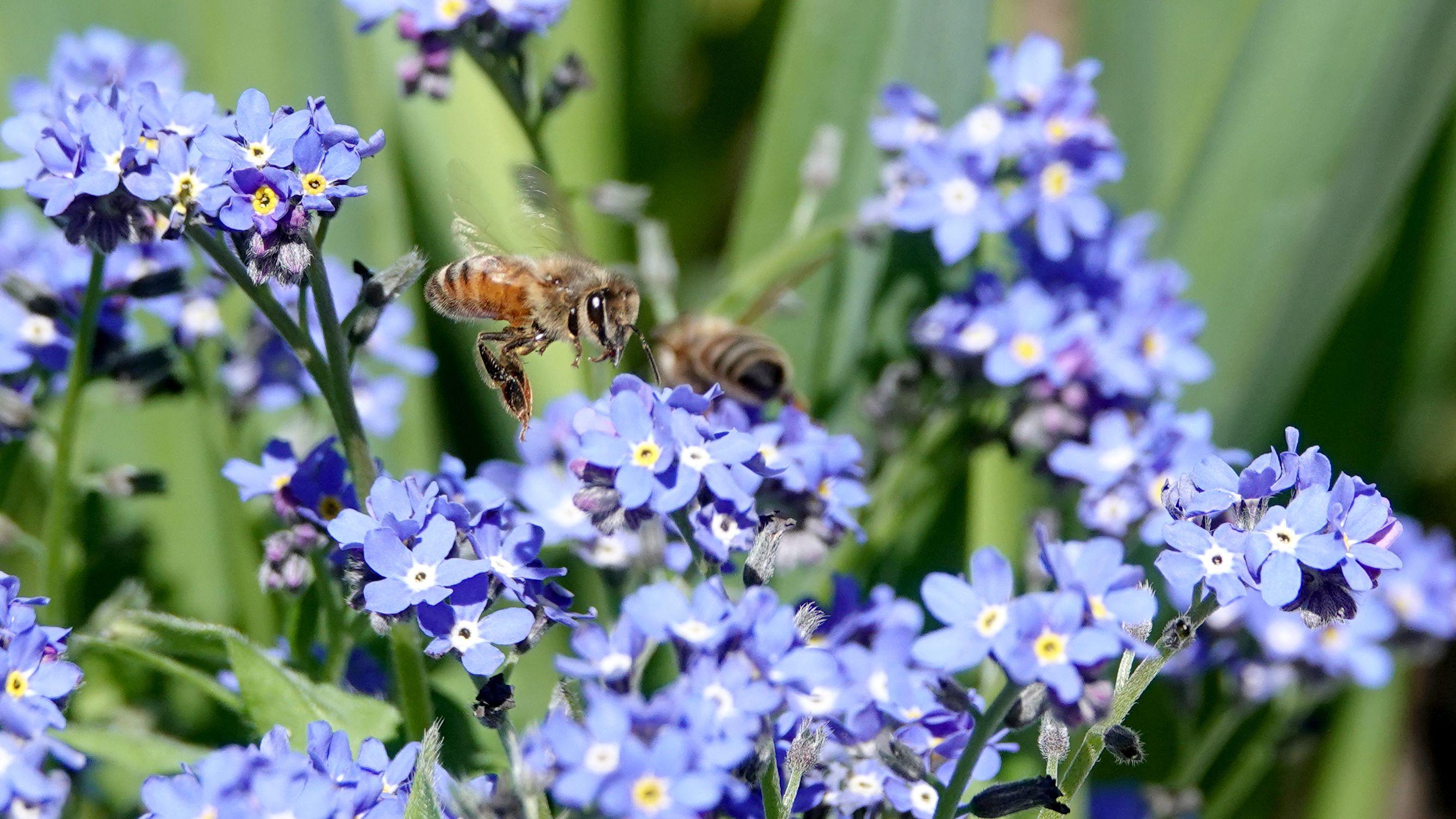 Eine Biene an Vergissmeinnicht-Blüten: Symbolbild für Artenvielfalt