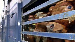 Symbolbild Tiertransport von Rindern   Bild:pa/dpa