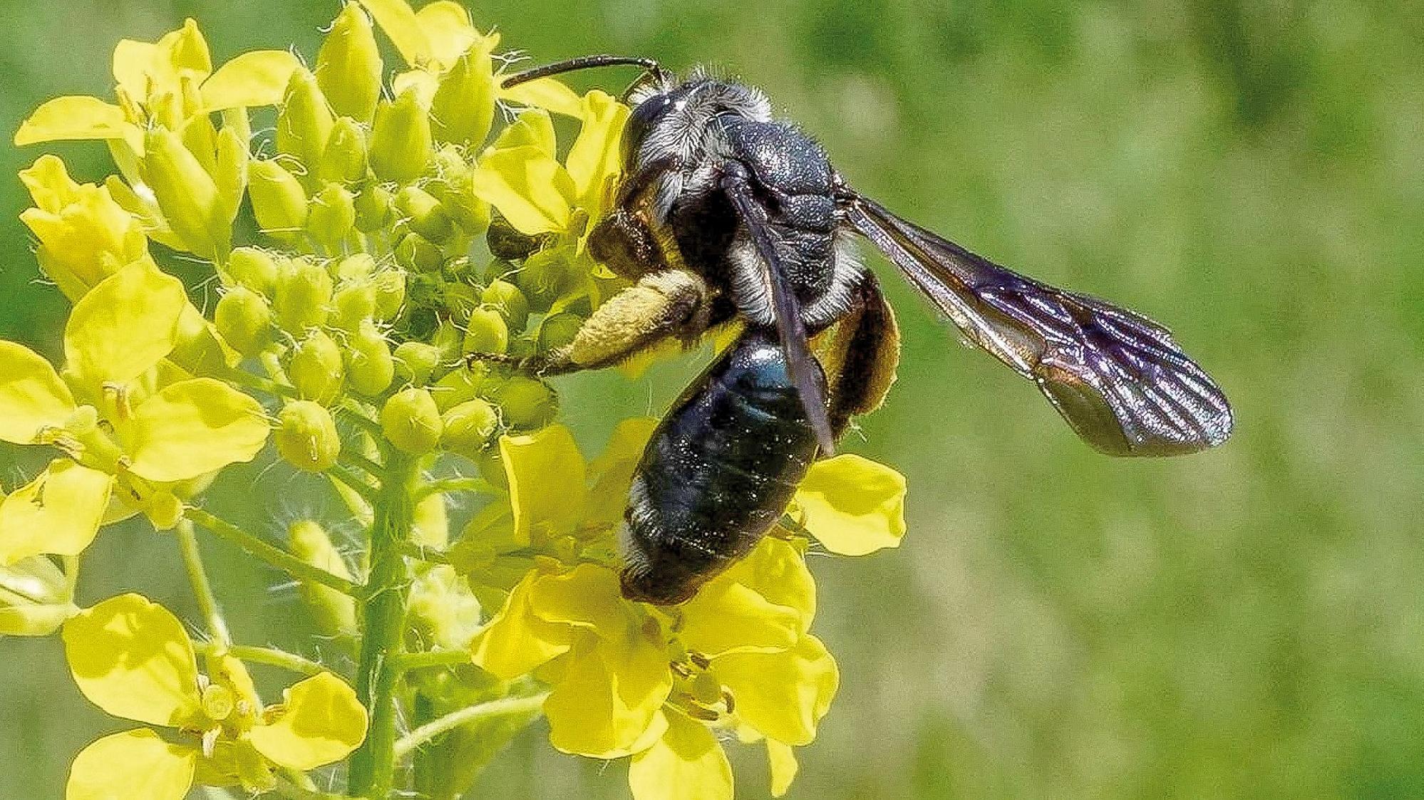 Die Wildbiene des Jahres 2019: die Senf-Blauschillersandbiene