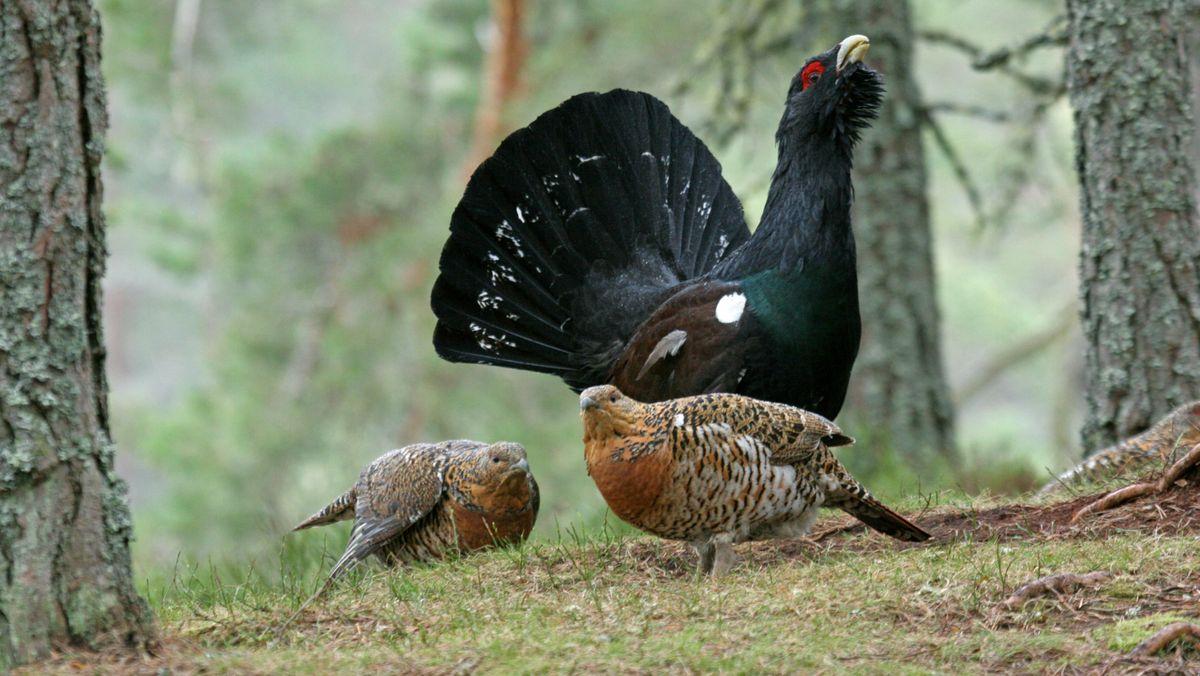 Zwei weibliche Auerhühner und ein männlicher Auerhahn