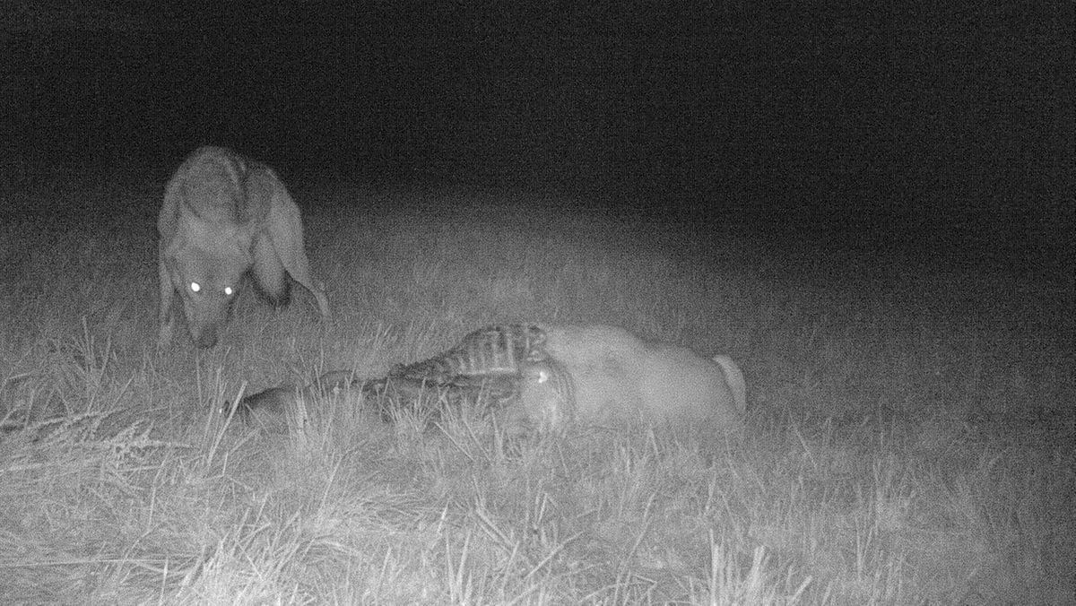 Erst das Bild der Wildkamera, jetzt die genetische Analyse: Ein Wolf hat die Schafe in Igenhausen gerissen.