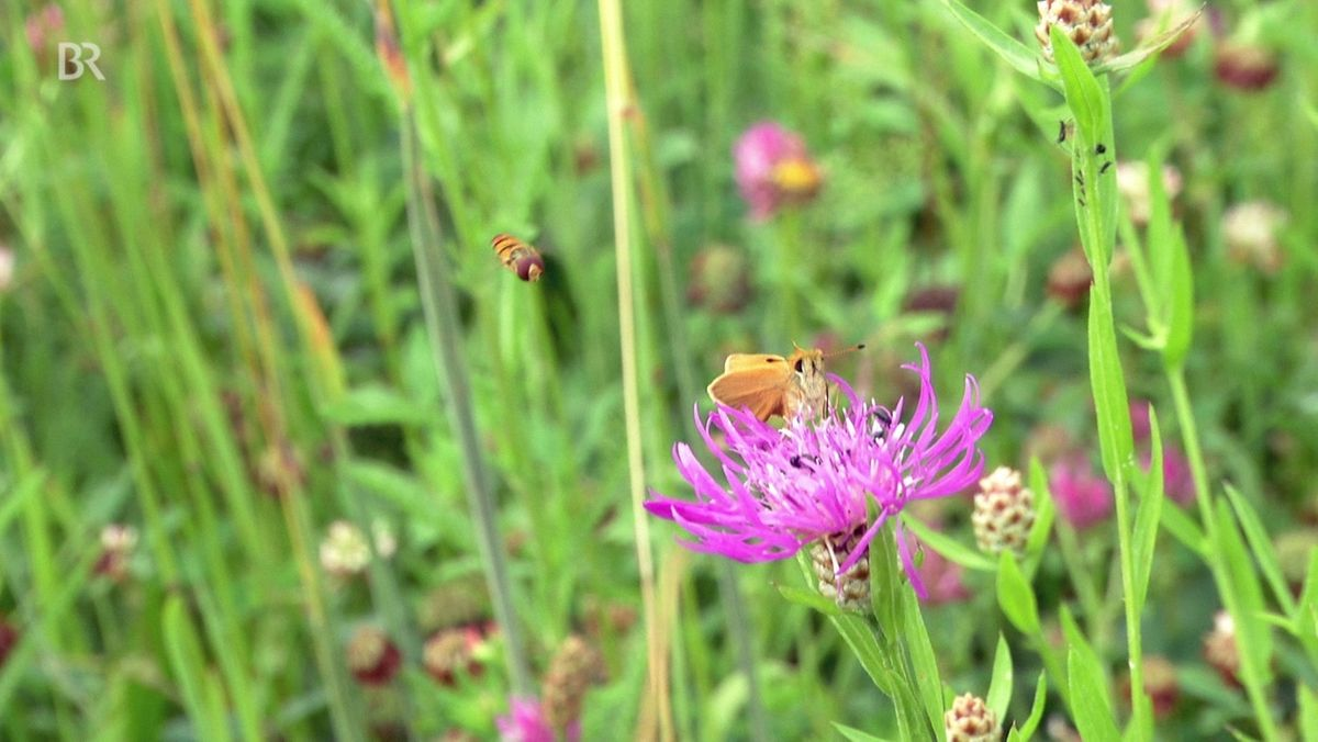 Blühende Wiesenblume
