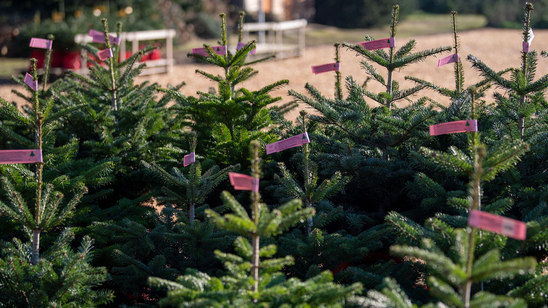 Der Preis für einen Weihnachtsbaum in Bayern bleibt stabil.
