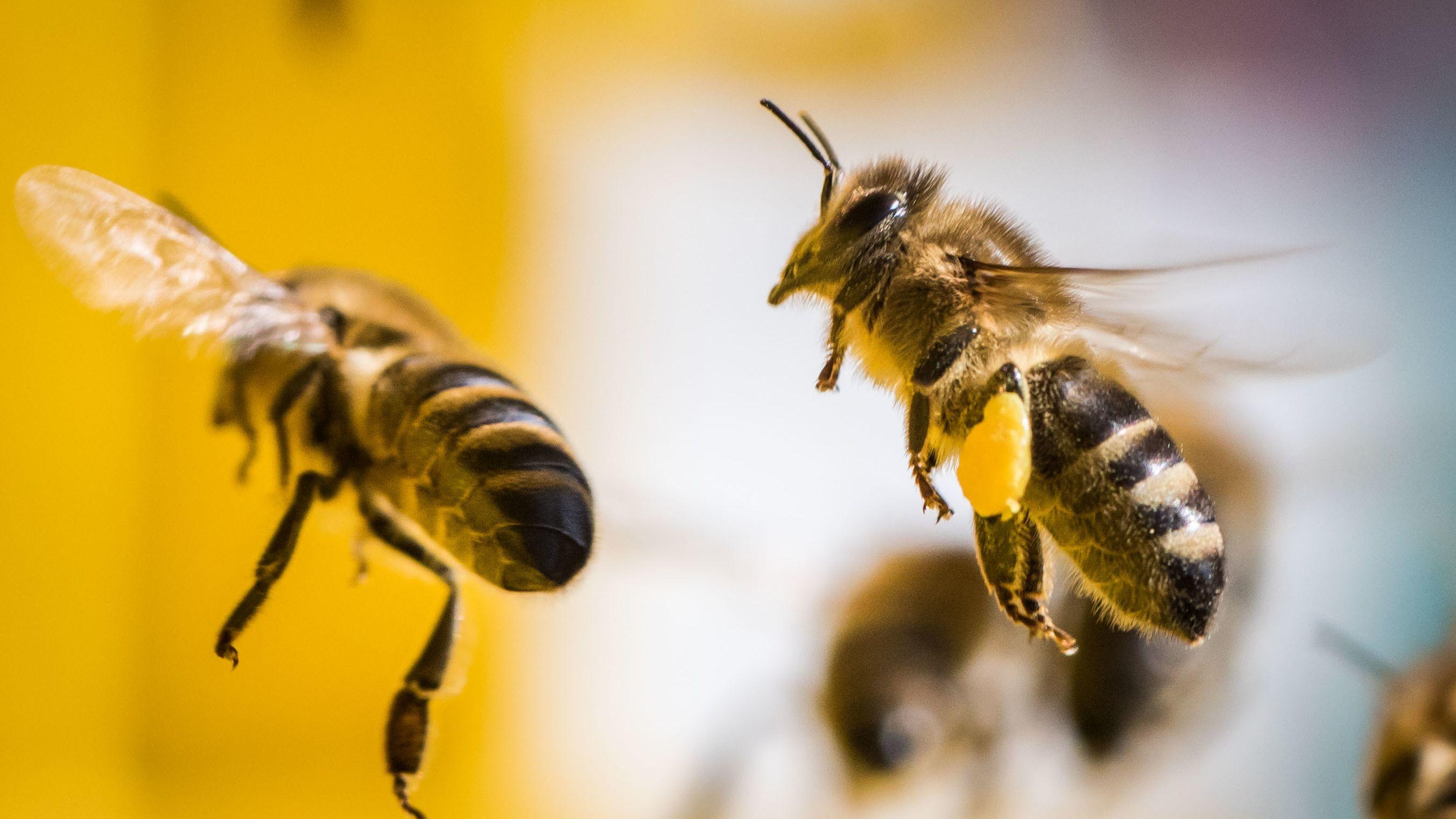 """Die Bienenseuche """"Amerikanische Faulbrut"""" weitet sich aus"""