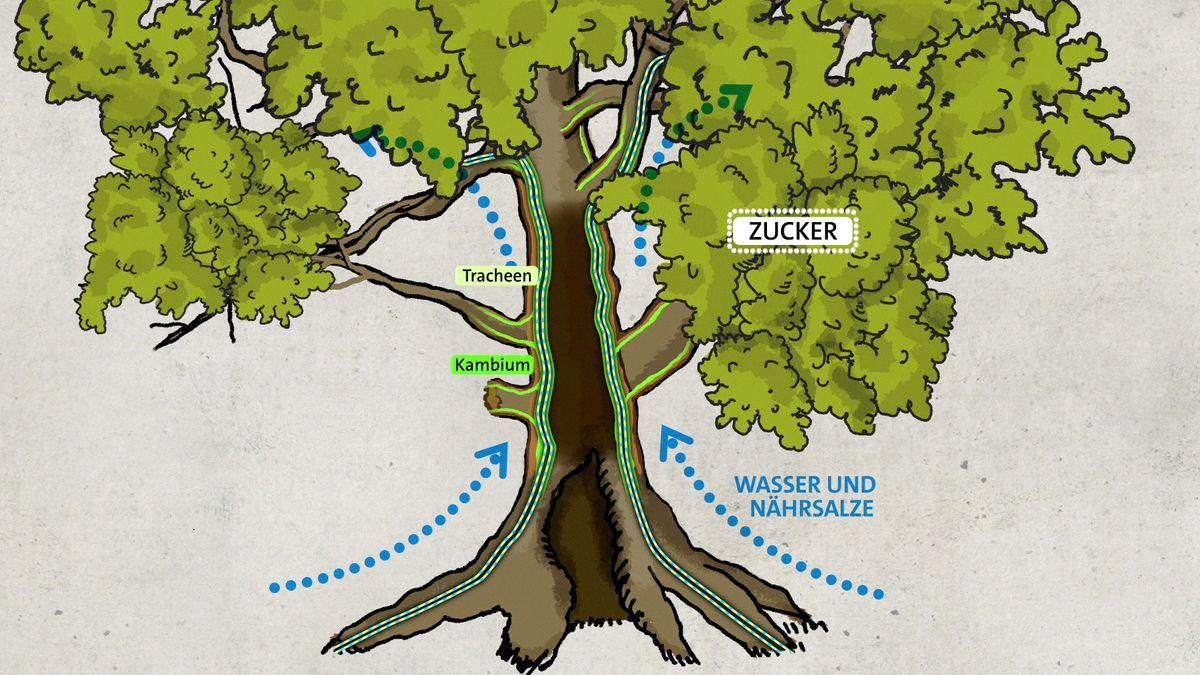 Grafik, wie ein hohler Baum sich versorgt.