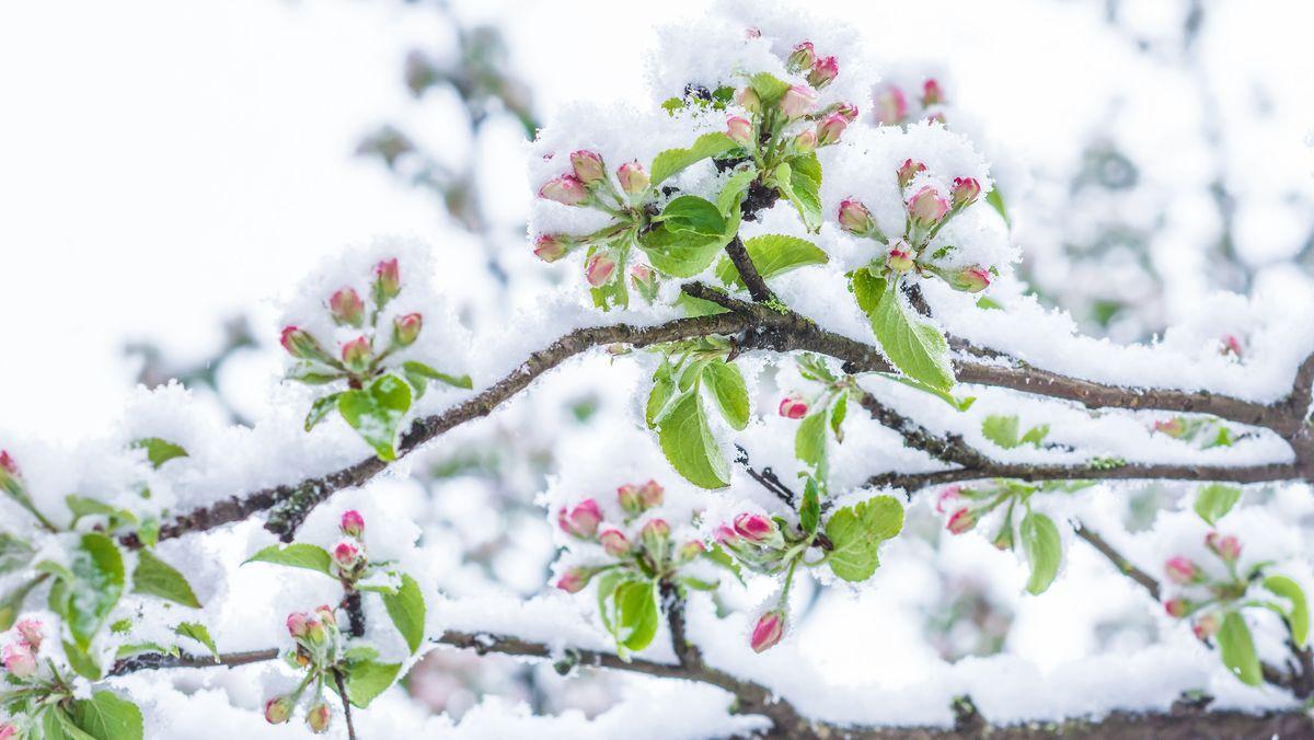 Symbolbild: Schnee auf blühendem Obstbaum