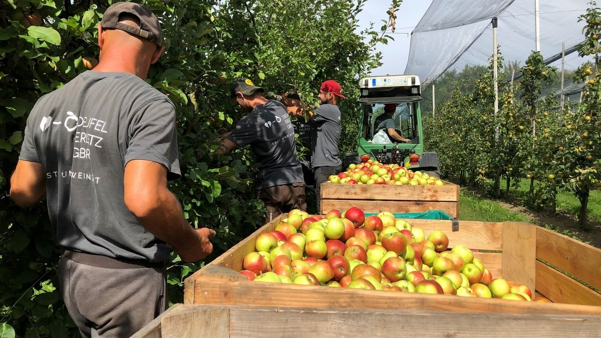 Auf dem Hof Erletz in Lindau werden Äpfel der Sorte Santana geerntet