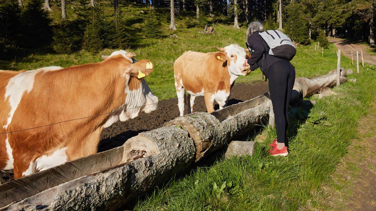 Wanderer streichelt Kühe